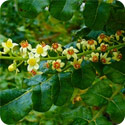 PH449_boswellia